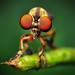 Robber Fly - (Holcocephala fusca) by Thomas Shahan