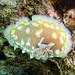 Clumpy nudibranch - Photo (c) Ken-ichi Ueda, some rights reserved (CC BY-NC-SA)
