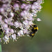 Small photo of Allium ampeloprasum with bee