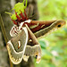 Columbia Silk Moth