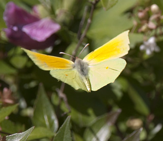 Brimstone flying
