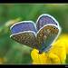 Polyommatus icarus (male) - Common Blue - Hauhechel-Bläuling