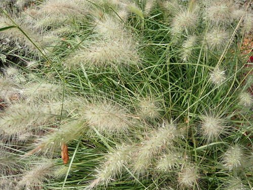 Ornamental grass growing tips gardeners tips for Short growing ornamental grasses