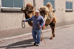 Schiedam - Opening De Kameel - een echte kameel 3752