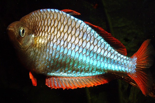 neon rainbow fish Flickr - Photo Sharing!