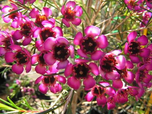 Chamelaucium uncinatum (Geraldton Wax) - cultivated