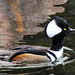 Hooded Merganser, male
