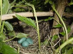 Robins' nest in Trumpetvine
