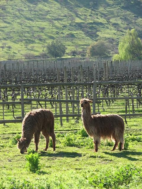 Alpacas flickr photo sharing for Alpaca view farm cuisine