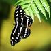 Black butterflies do love to take a bath in the sun