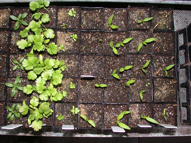 Hyssop-Coriander-Celery-Chilli-Seedlings-8731