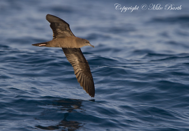 Wedge-tailed Shearwater, Puffinus pacificus