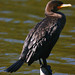 Double-crested Cormorant - Photo (c) Blake Matheson, some rights reserved (CC BY-NC)