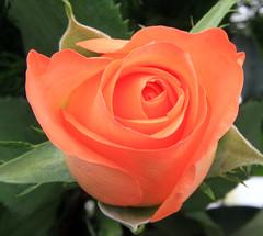 garden roses(1.0), rosa 㗠centifolia(1.0), floribunda(1.0), flower(1.0), rosa foetida(1.0), plant(1.0), petal(1.0),