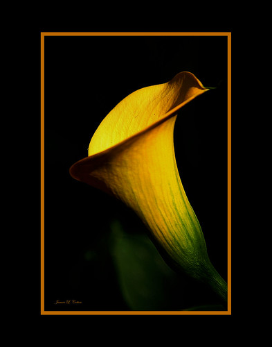 Golden Calla Lilly with a Touch of Green
