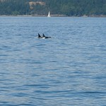 Whalewatching Anacortes (San Juan Islands)