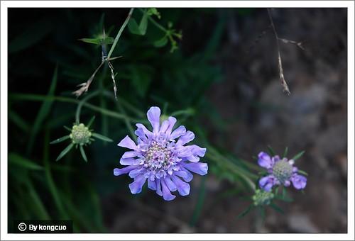 北京阳台山的常见野花-川续断科蓝盆花属华北蓝盆花