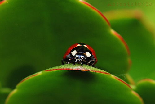 Lady Ladybird ...Coccinella septempunctata