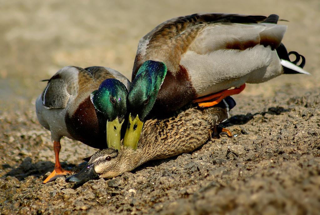 Mating Mallards