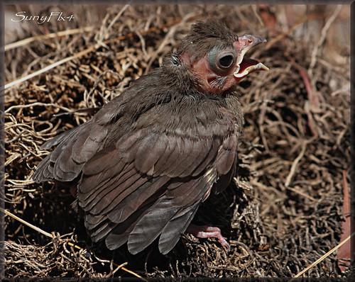 baby bird cardinal fledgling