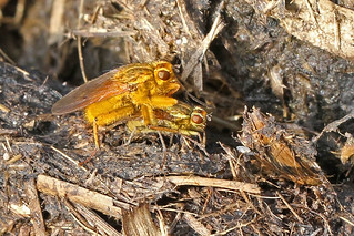 Flies dung matimg  11.3.2014 (1)