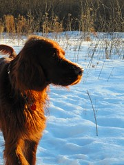 animal(1.0), dog(1.0), winter(1.0), snow(1.0), pet(1.0), mammal(1.0), nova scotia duck tolling retriever(1.0), irish setter(1.0), setter(1.0), golden retriever(1.0),