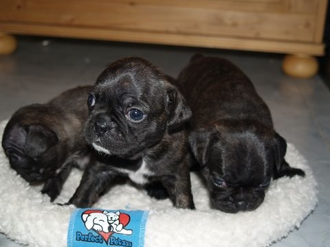 bugg pug second litter our bugg actual registered breed ...