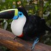 White-throated Toucan - Photo (c) Gabby Sanabria, some rights reserved (CC BY-SA)