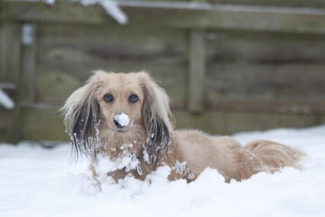 Very Cute Puppy Mini Long Haired Dachshund in the Snow