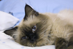 animal, kitten, siamese, small to medium-sized cats, pet, ragdoll, thai, tonkinese, cat, carnivoran, whiskers, balinese, birman, himalayan,