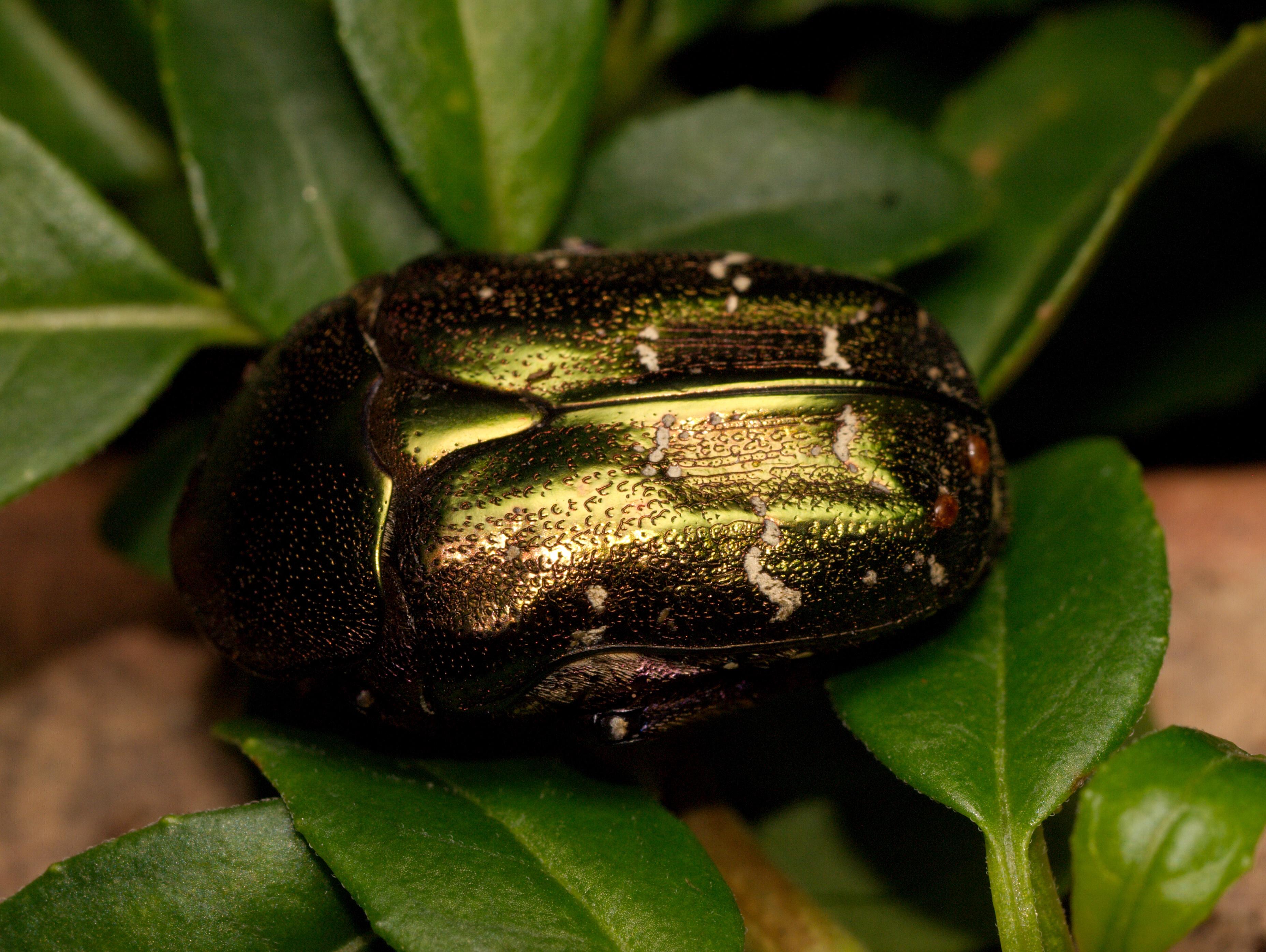 Cetoniidae Stock Footage & Videos - 7 Stock Videos