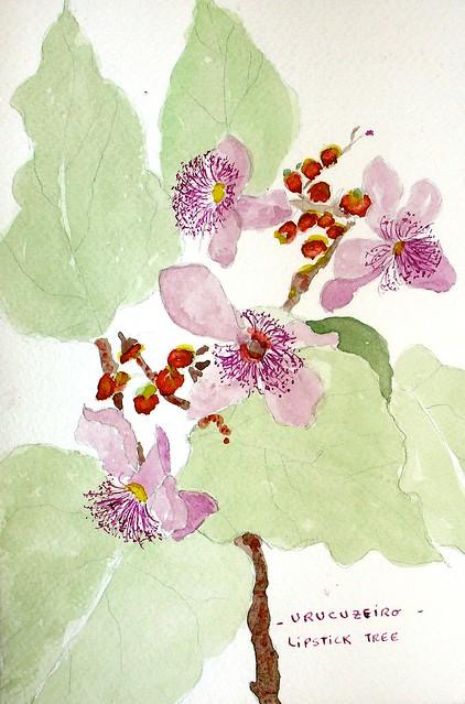 URUCUZEIRO / Lipstick Tree / Bixa orellana