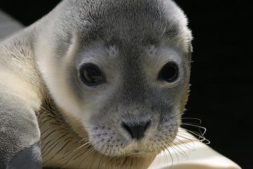 Crías de focas 2009 (1)