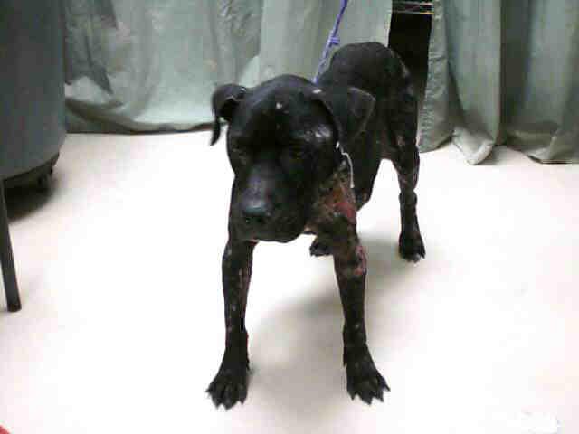 Injured Solid Black Female Pit Bull Terrier | Flickr ...