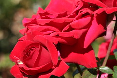 Crimson Bouquet Rose - Marin Art and Garden (5649)