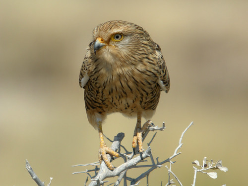 Greater Kestrel, Etosha National Park, Namibia
