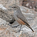 Rock Wren - Photo (c) Jerry Oldenettel, some rights reserved (CC BY-NC-SA)