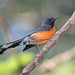 Slate-throated Redstart - Photo (c) Dominic Sherony, some rights reserved (CC BY-SA)