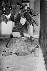 Artis, reuzenschildpad in reptielenhuis