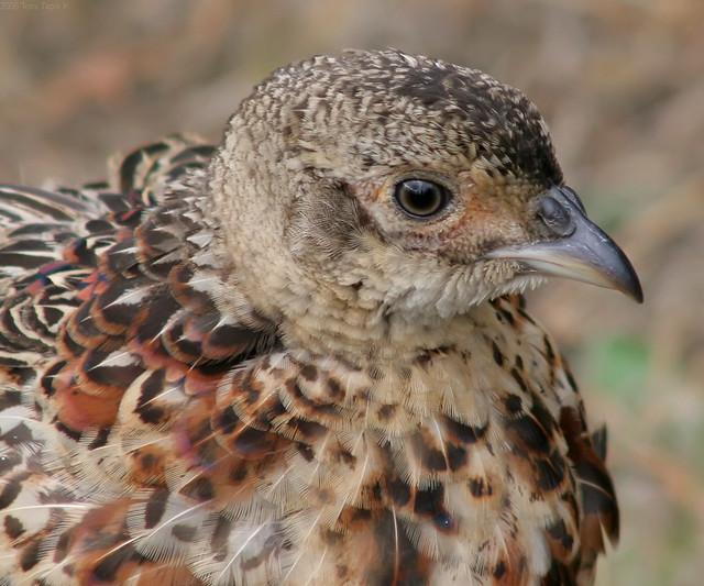 Young Pheasant | Flick...