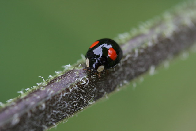 Black with red spots harlequin ladybird