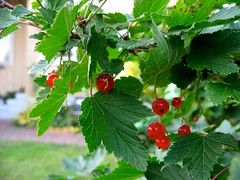 shrub, berry, branch, tree, fruit, currant, hawthorn,