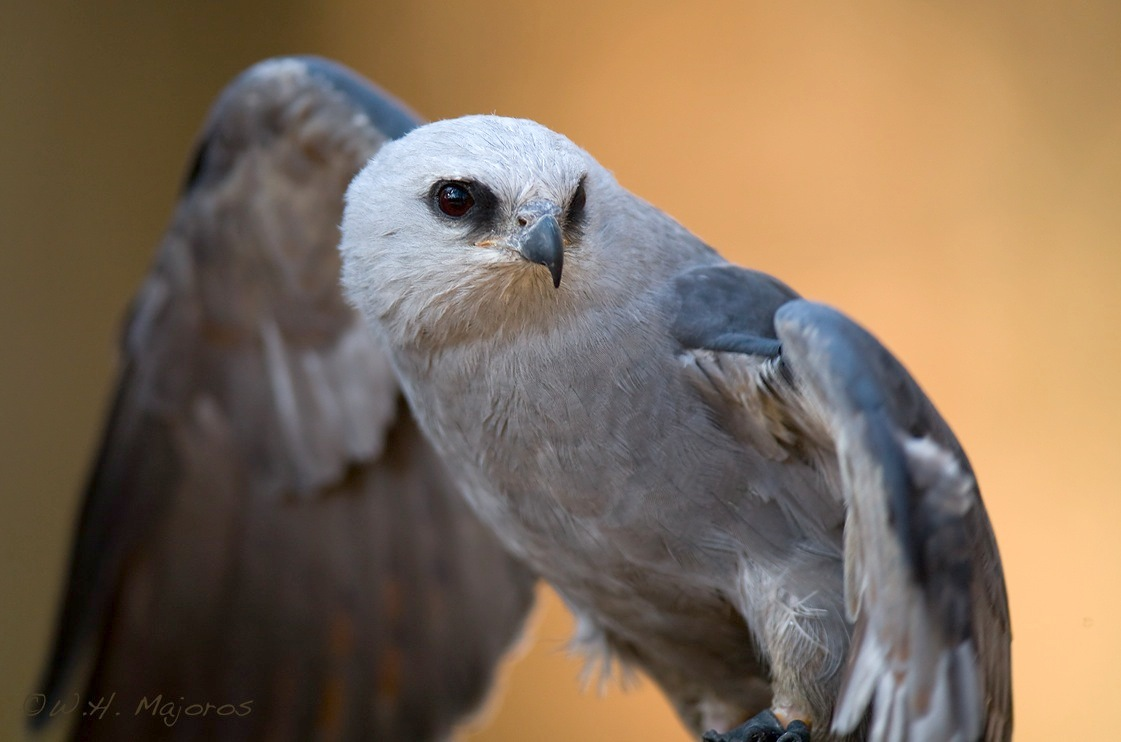 Mississippi kite. Credit: Bill Majoros/CC BY-SA 2.0
