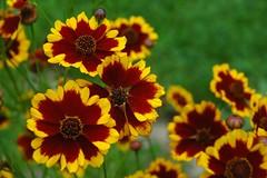 gaillardia, annual plant, flower, yellow, plant, macro photography, herb, wildflower, flora, petal,