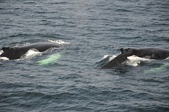 animal, marine mammal, whale, sea, ocean, marine biology, killer whale, wind wave,