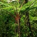 Alsophila firma por Polylepis