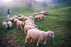 animal, field, grass, sheeps, sheep, mammal, herd, grazing, fauna, goatherd, meadow, pasture, rural area, grassland,
