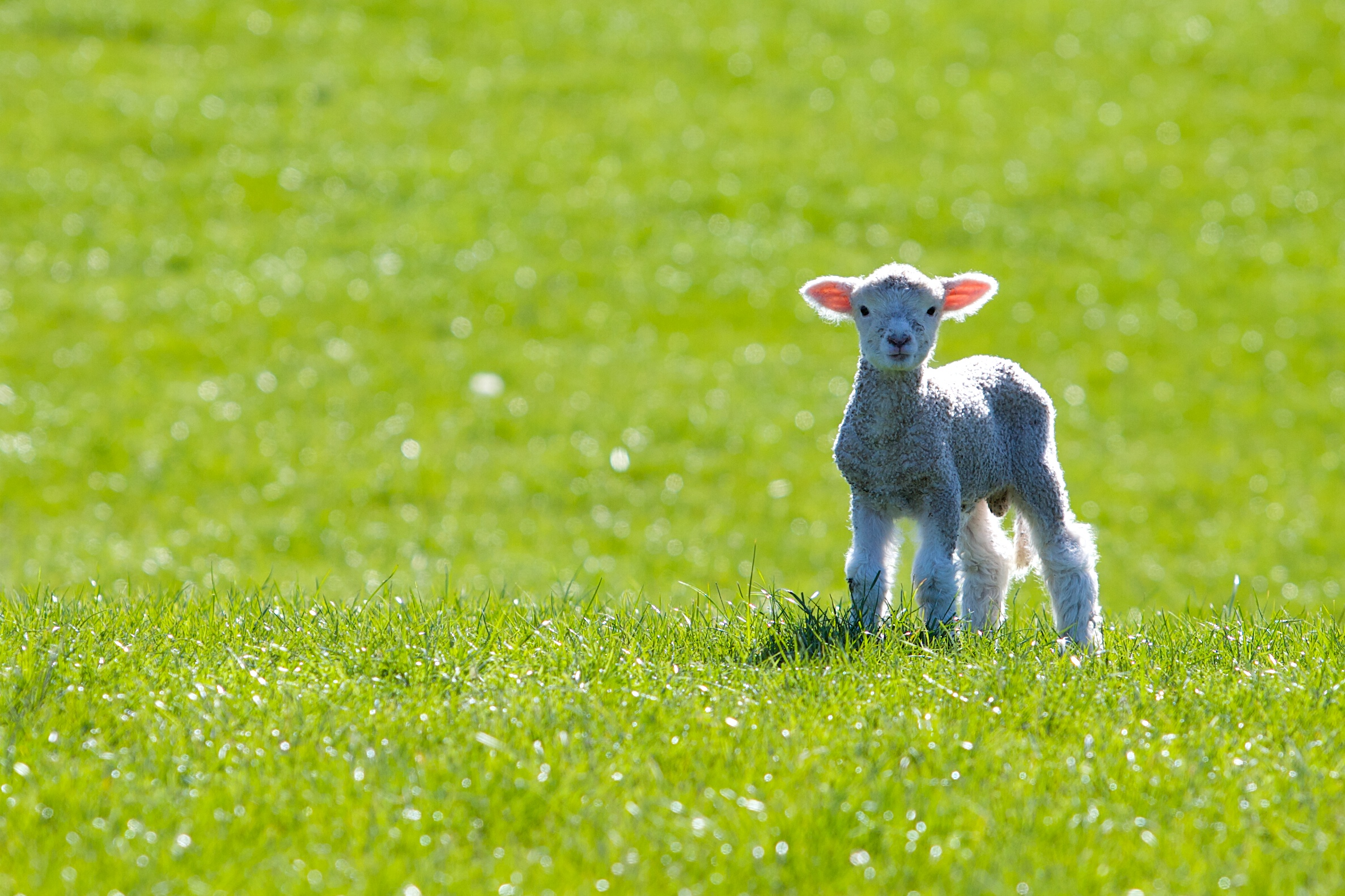 Spring Fuzziness – FuzzFeed  |Baby Lambs In Spring