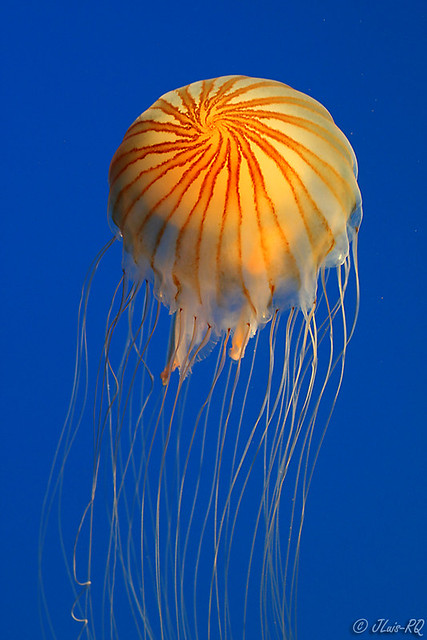 медуза фото