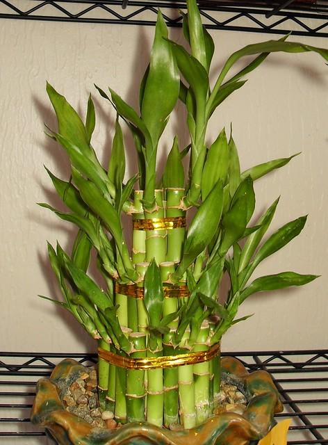 Chinese Bamboo Plant Macro Flickr Photo Sharing